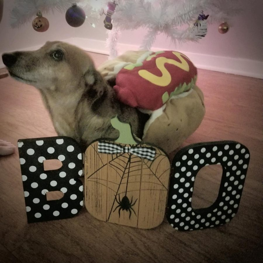Mrs.+Grice%2C+English+teacher%2C+owns+a+dachshund+named+Boo.+Here+he+sports+his+favorite+Halloween+costume.